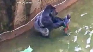 Nonton Gorilla Killed After Child Falls Into Zoo Habitat Film Subtitle Indonesia Streaming Movie Download