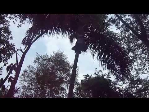 Tirando cacho de bacaba em Divinópolis do Tocantins
