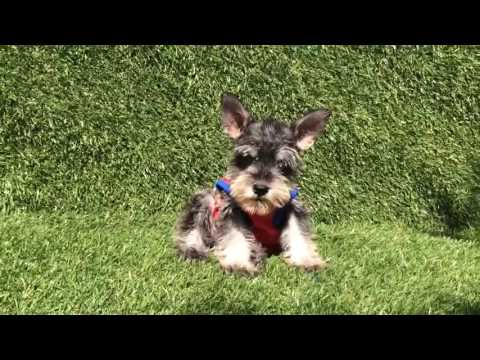 Male Toy Schnauzer Puppy