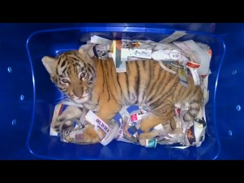 Verbotene Ware: Tigerbaby in Container entdeckt