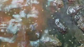 Asian Rest Frog Khmer Catching Frog,Cambodia find Frog#10