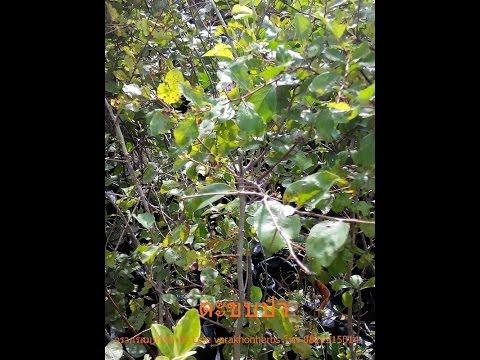 สมุนไพรไทย thaiherbs Ep8 ต้นตะขบป่า ผลไม้ป่ารสชาติอร่อย วรากรสมุนไพร