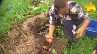 Картошка выращена в сене!
