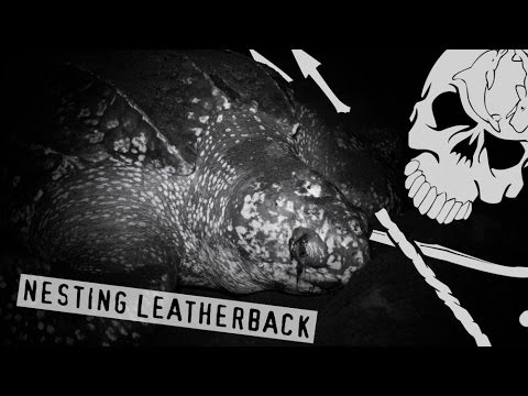 Operation Jairo Crew Protect Nesting Leatherback Turtle
