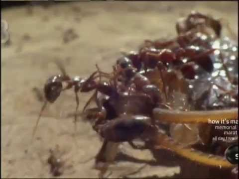 Swarming Army Ants In Africa