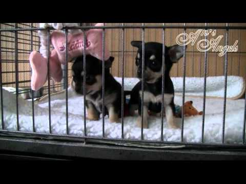 Chihuahua puppies Fable and Magic – 5 Weeks – An's Angels