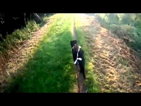 Speed Of Beauceron Dog  Video