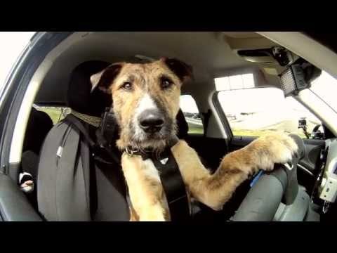 Dog driving a car!