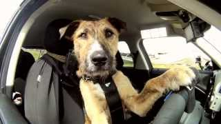 Meet Porter. The World's First Car Driving Dog