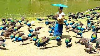 Video Peacock flying and peacock sound MP3, 3GP, MP4, WEBM, AVI, FLV Agustus 2019