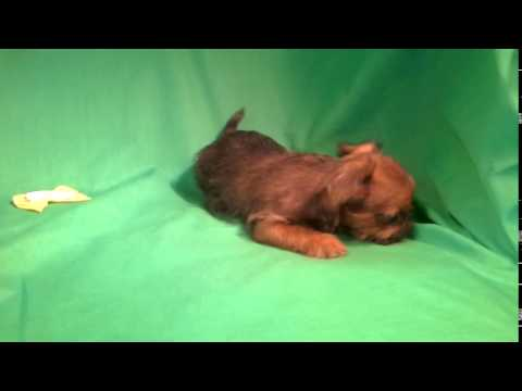 Baby Brussels griffon HONEY girl