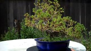 ** mmm not sure what is happening in youtube, the original video on my computer looks much better with better focus**Many asked to see all my Bonsai at once, where here it is! I only shown the ones that are in a real bonsai pot. I do not show the ones that are still in the training pots. To my subscribers, many of these plants might look familar :)** mmm not sure what is happening in youtube, the original video on my computer looks much better with better focus*