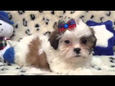 Adorable & Spunky Little Female Malshi Puppy!