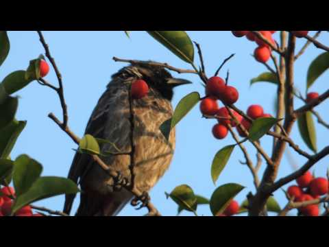 Video Song by A Red Vented Bulbul download in MP3, 3GP, MP4, WEBM, AVI, FLV January 2017
