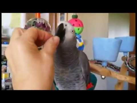 How to Train Your African Grey Parrot