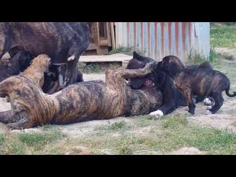 Cuccioli  giocano con i genitori e la zia