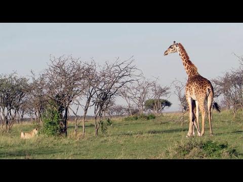 草原版葉問,長頸鹿媽媽一對獅子群....