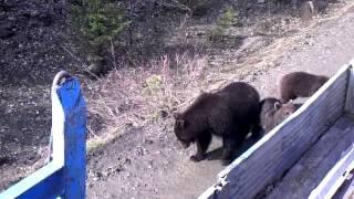 нежданчик при кормежке медведей