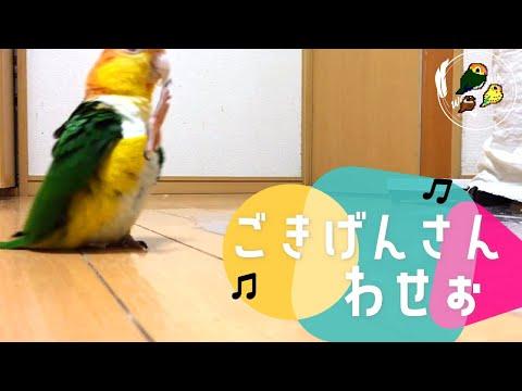 Söpö papukaija marssii pitkin lattiaa – Taps Taps Taps