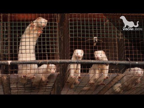 Morire per una pelliccia - Gli allevamenti di visoni in Italia