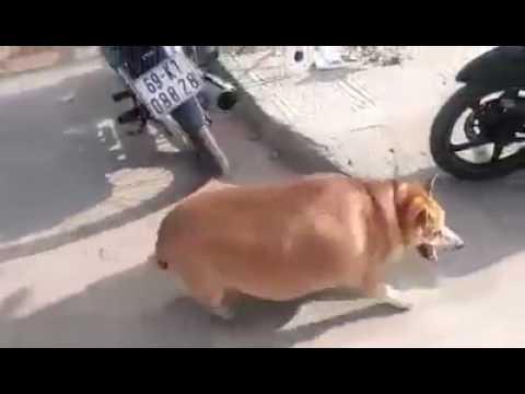 Lợn bây giờ sao giống chó thế hả giời =))