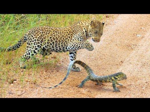 לטאה נתנה כאפות לנמר שניסה לאכול אותה ושרטה לו את האגו