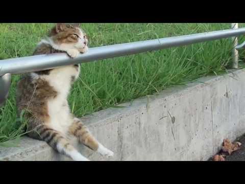 夕暮れの お座り猫ちゃん  高画質版 / HD Ver. Cat sitting relaxed (видео)