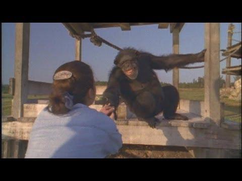 這隻猩猩遇到這個女人馬上就衝前緊緊抱住她,原來牠一直沒忘記18年前「她做的事」