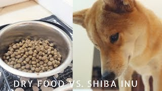 Haru always eats her food eventually but this helps her food taste much more delicious:)Can we get Haru to 1000 likes again? you guys have been awesome!!Follow us on instagram @ HaruShibaInu