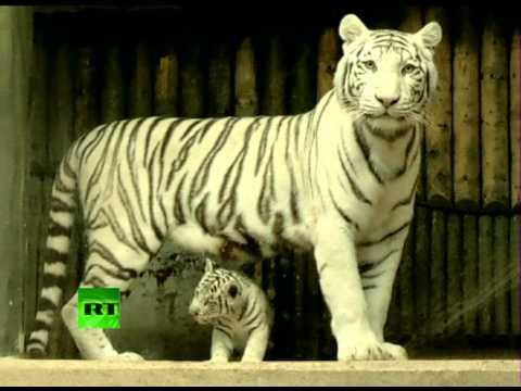 Редкие белые тигры предстали перед публикой