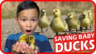KIDS SAVE Little Baby Ducks from Being Eaten Alive by Hungry Crows, TigerBox HD
