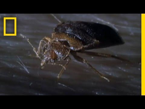 Bedbugs!   National Geographic