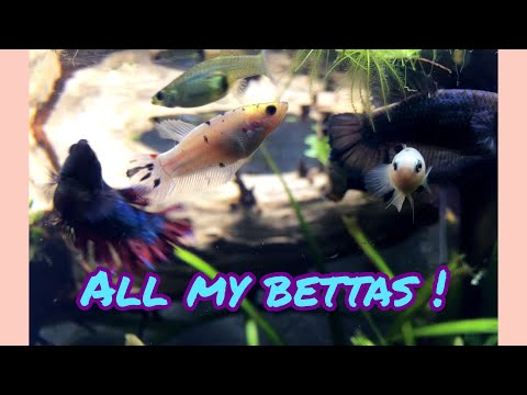 All my Betta Fishes !! 🖤💜😁