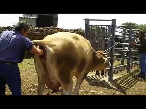 il parto della mucca