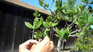 After repotting, I had to do some further repair work and hope that this plant can regain it's health and become a majestic Oak bonsai, sometimes in the future. Thanks for watching