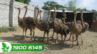 Chăn nuôi | Chia sẻ kỹ thuật nuôi đà điểu: Từ thức ăn đến chuồng trại