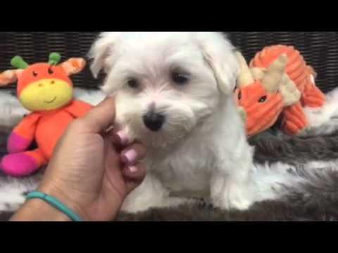 Cuddly companion, puppy male Maltese!