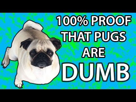 Dumb Pug Gets to Choose Between 1 Chicken Nugget or