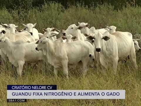 LEILÃO VIRTUAL CV NELORE MOCHO - ETAPA TOUROS