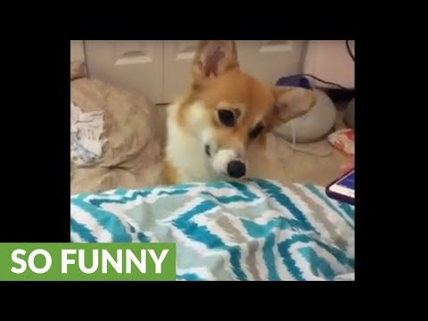 Corgi Wakes Up To Her All-time Favorite Song