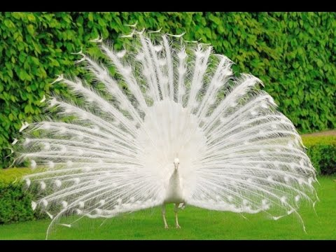 This White Peacock will Blow Your Mind