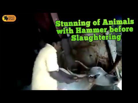 girl slaughtering animal