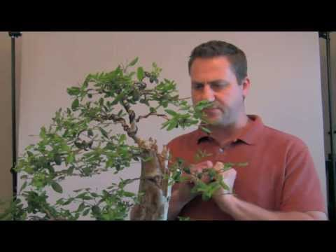 How To Bonsai – Controlling New Growth
