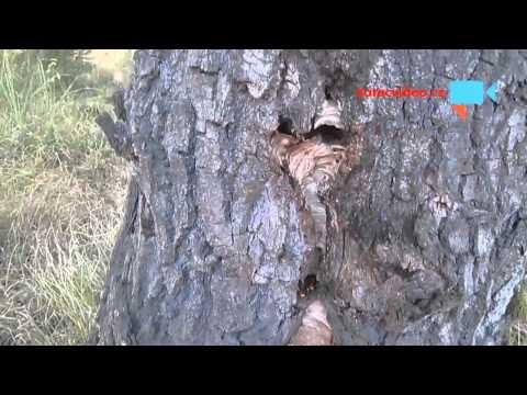 Sršni vylétávající z dutiny dubu