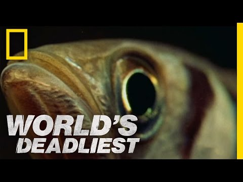 World's Deadliest - Fish 'Shoots' Prey with Water