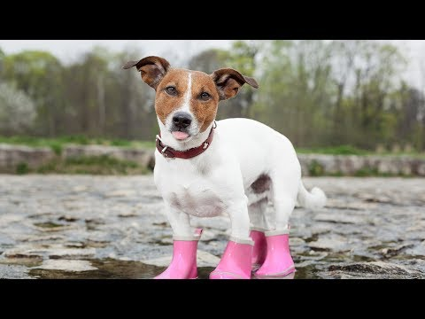 wearing - Dogs Wearing Booties | Dogs Wearing Boots | Dogs Wear Booties | Dogs Wear Boots | Dogs Wearing Shoes | Dogs Wear Shoes | Dogs Wear Socks | Dogs Wearing Socks...
