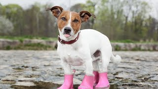 Dogs Wearing Boots for First Time Compilation