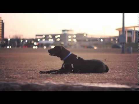 Great Dane-Lab Mix Follows Commands | The Daily Puppy