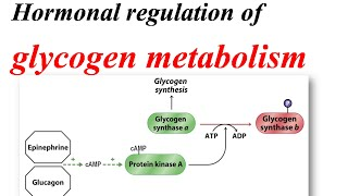 Hormonal regulation of glycogen metabolism