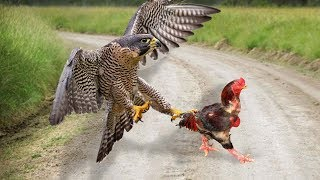 Video Eagle Vs Rooster _ Who Will Be The Winner? MP3, 3GP, MP4, WEBM, AVI, FLV Maret 2019